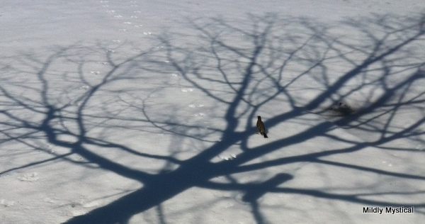 Maple Shadow and Robin on Snow 2015-02-28