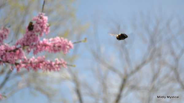 Bumblebee in Flight with Redbud Tree